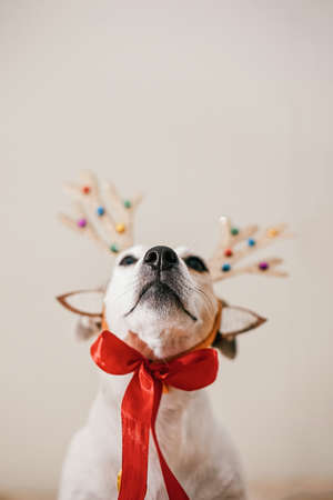 Funny dog in a deer costume with antlers, preparation for the party and masquerade. Festive concept of Merry Christmas and New Year