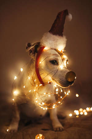Funny dog in a New Years cap, a sparkling garland in a dark room, masquerade. Festive concept of Merry Christmas and New Year