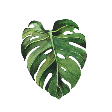 Watercolor monstera leaf. Imagens