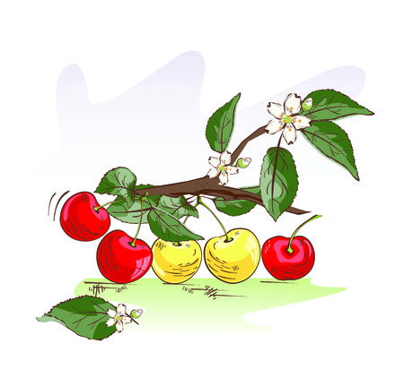 Vector illustration of sweet red and yellow cherry branch Çizim