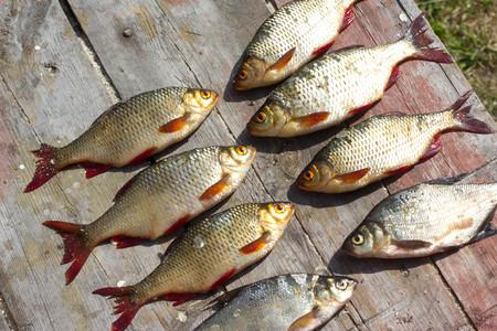 Fresh fish European roach