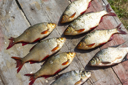 Verse vis Europese roach