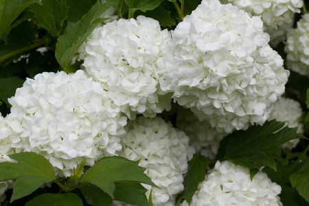 Blossoming bush of a guelder rose.