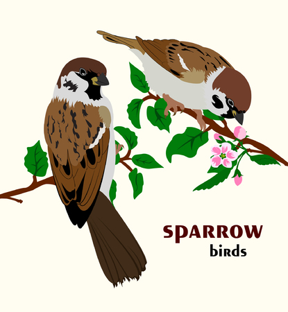 A Vector illustration of sparrow birds sitting on branches. Two sparrows sitting on spring tree.