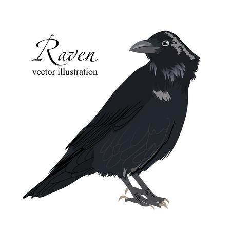 Vektorabbildung des schwarzen Raben. Schöner Vogel auf weißem Hintergrund.