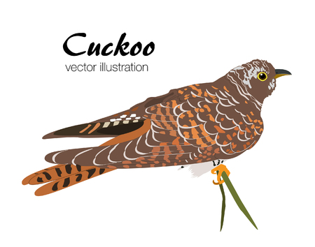 Vector illustration of Cuckoo on white background. Beautiful bird sitting on tree brach.