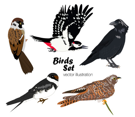 details: Colorful raven, swallow, cuckoo, sparrow and woodpecker on white background. Vector ilustration of birds set. Illustration