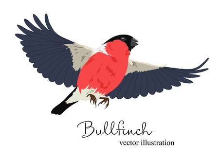 Vector illustration of bullfinch in flight. Beautiful bird on white background. Vettoriali