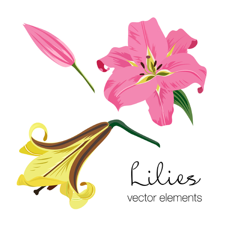 Vector illustration of colorful lilies flowers. Lilies elements on white background.