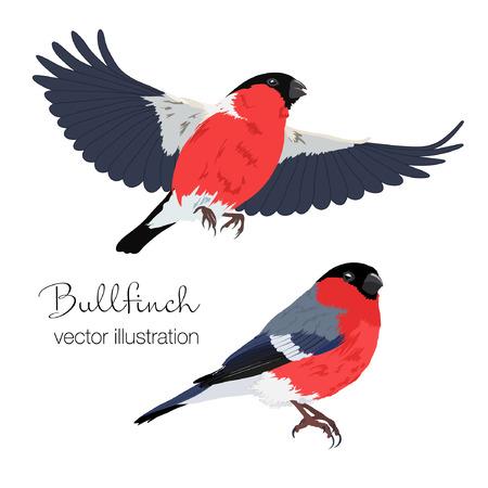 Vector illustration of bullfinch birds set. Bird in flight and sitting bird on white background.