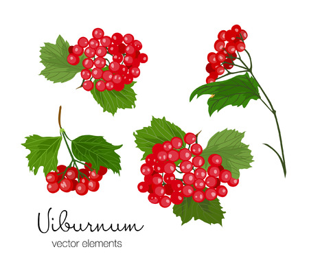Vector illustration of viburnum berries set. Red berries and green leaves on tree branches. Hand drawn. 向量圖像