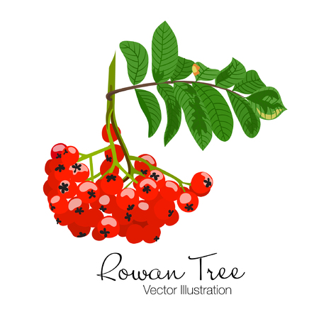 Vector illustration of colorful beautiful rowan tree branch. Red berries and green leaves on white background. Hand drawn.