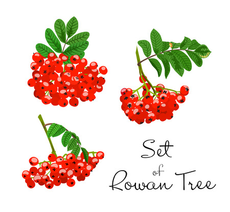 Vector illustration of rowan tree branches set. Red berries and green leaves on white background. Hand drawn. Çizim