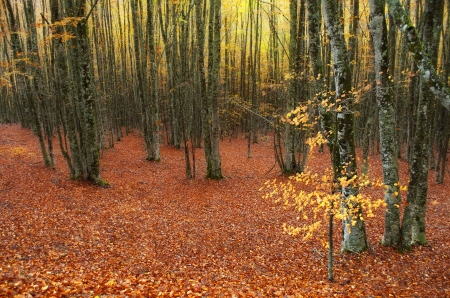 Carpet of autumn leaves in the forest photo