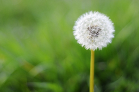 One dandelion on green background photo