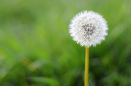 One dandelion on green background