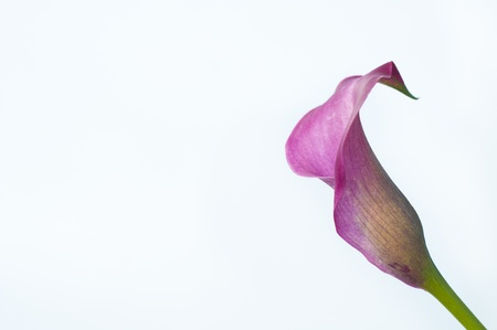 aniversary: Pink calla lily isolated on withe background