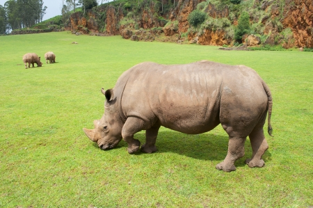 rhinoceros eating grass peacefully Stock Photo