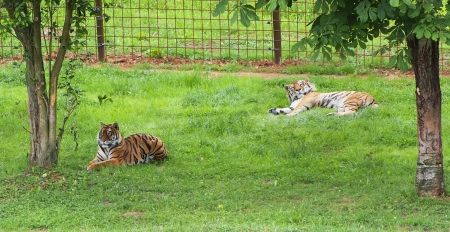 tigre: two tigers resting in the shade Stock Photo