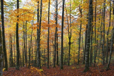 Autumn trees in the Irati forest, Spain Stock Photo
