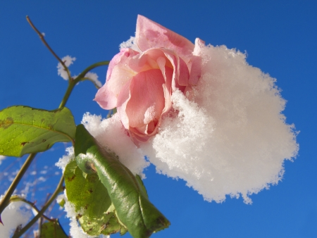 Snow covered pink rose, and blue sky photo