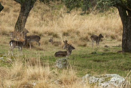 group of deer lying in the grass, Riofrio, Spain photo