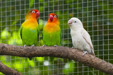 Three lovebirds birds on a branch, green and white colored Stock Photo