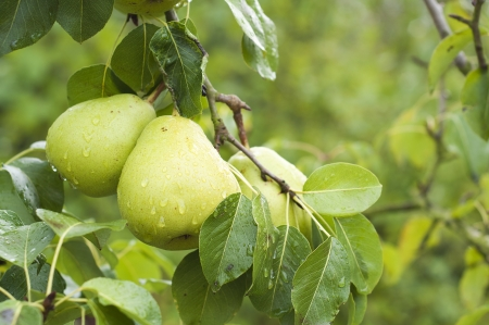 two pears on pear tree branch with rain drops and green leaves photo