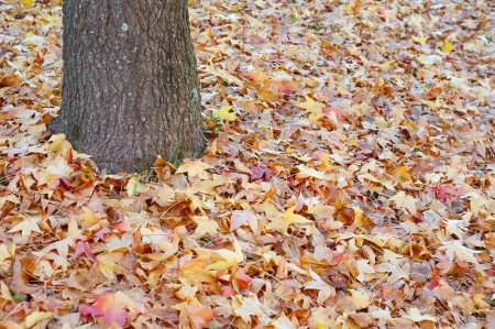 sweetgum tree trunk and floor covered with dry leaves Stock Photo