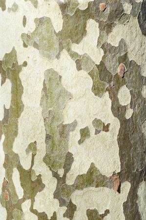 sicomoro: sicomoro tronco trama Archivio Fotografico