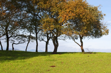 small oak trees aligned in a green grass field with blue sky in the background