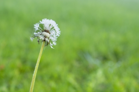 Frozen dandelion on green grass background photo