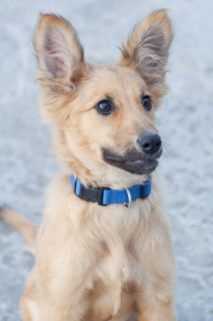 cocked: small Basque shepherd puppy, looking intently with ears cocked Stock Photo