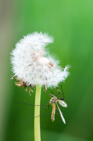 mosquito insect perched on a dandelion photo