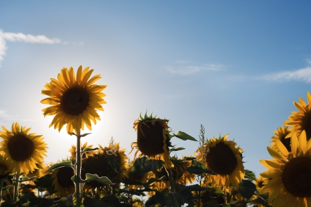 Sunflowers in a sunny afternoon