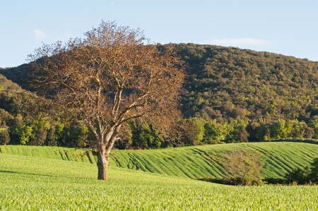 green fields of wheat and trees under blue sky Stock Photo