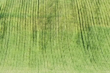 shot on the green wheat fields
