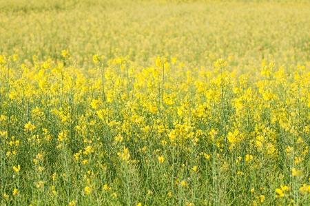 Raps-Feld voller gelber Blumen Lizenzfreie Bilder