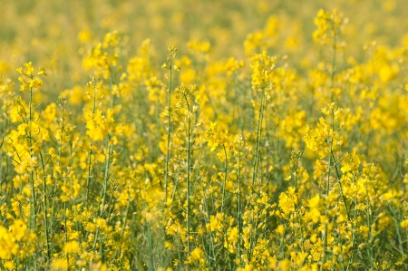 rapeseed field full of yellow flowers Stock Photo