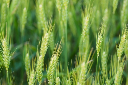 green wheat cereal fields photo