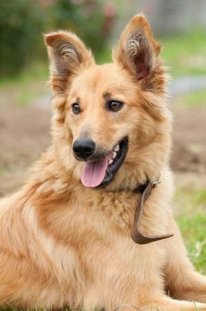 Basque shepherd dog portrait photo