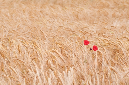 poppies in the field of dry cereal photo