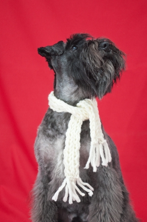 black miniature schnauzer with a white scarf in red background Stock Photo