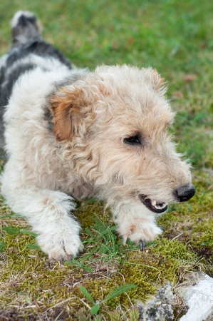 Fox terrier dog sitting in the grass