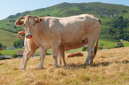 cow and calf in a pasture of Navarre
