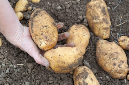 farmers hand holding some freshly harvested potatoes on the ground Stock Photo