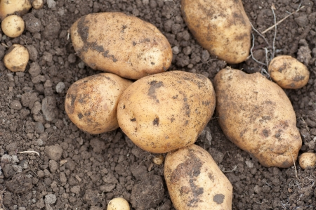 freshly harvested potatoes on the ground Stock Photo