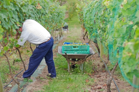 Man cutting white grapes in the vineyard Stock Photo