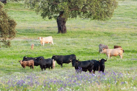 Cows in the meadows in Extremadura, Spain photo