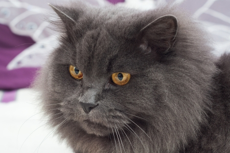 Beautiful gray cat with big yellow eyes photo